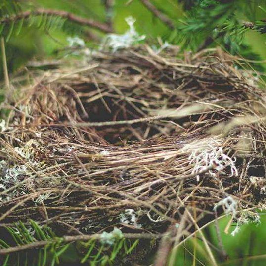 A bird nest in a pine tree.